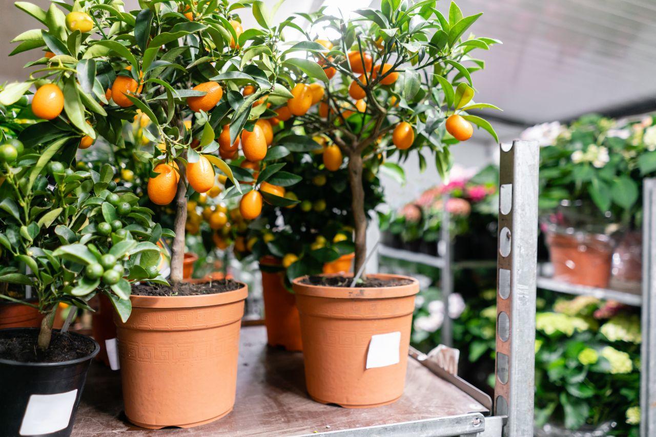 Kumquat-Bäumchen