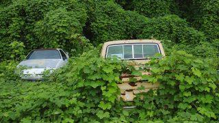 Kuzu-Pflanzen überwuchern Autos