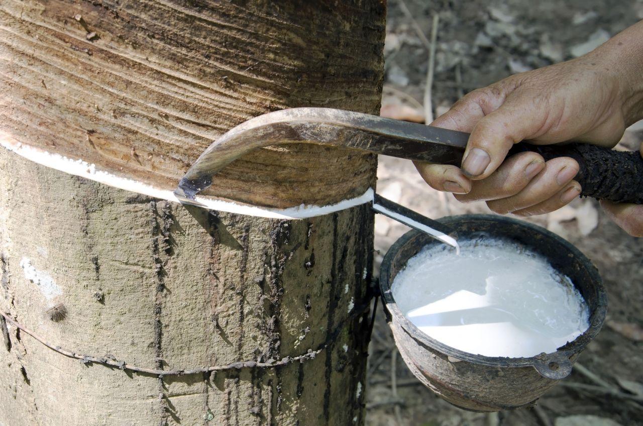 Latex-Gewinnung vom Kautschukbaum