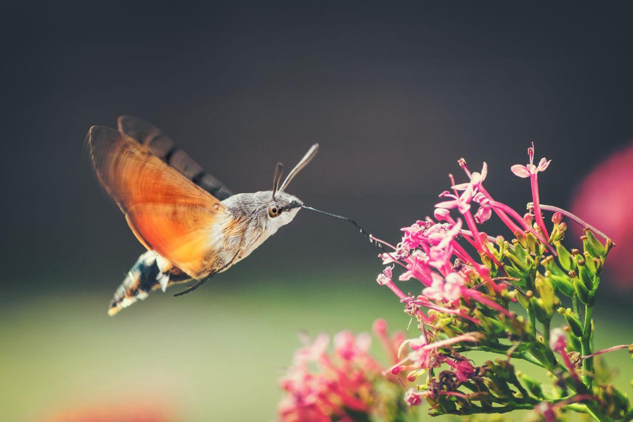 Kolibrischwärmer
