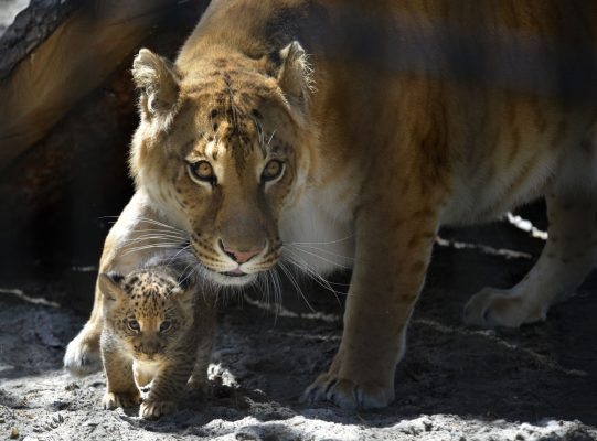 Liger-Mutter mit Junge