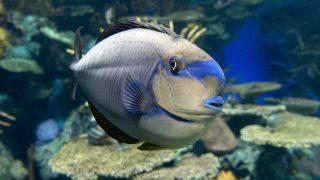 Maken-Nasendoktorfisch