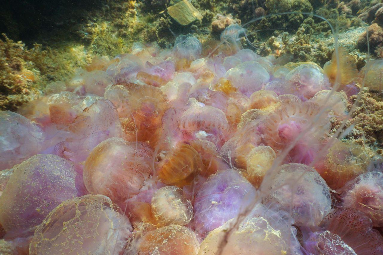 Ein Schwarm Leuchtquallen im Mittelmeer