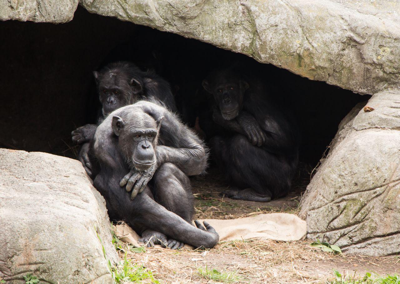 Savannen-Schimpansen