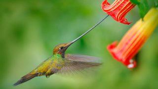 Schwertschnabel-Kolibri