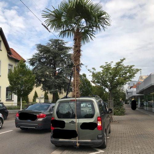 eine Palme ragt aus einem Auto in Saarlouis.