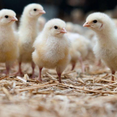 Bei der von Carsten Bauck angeregten Bruderhahn Initiative Deutschland (BID) finanzieren die Hennen mit den Eiern das längere Leben ihrer Brüder.