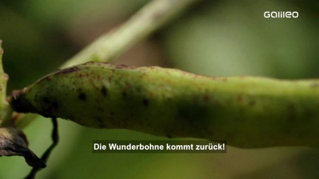 Ackerbohne: Konkurrenz für Soja?