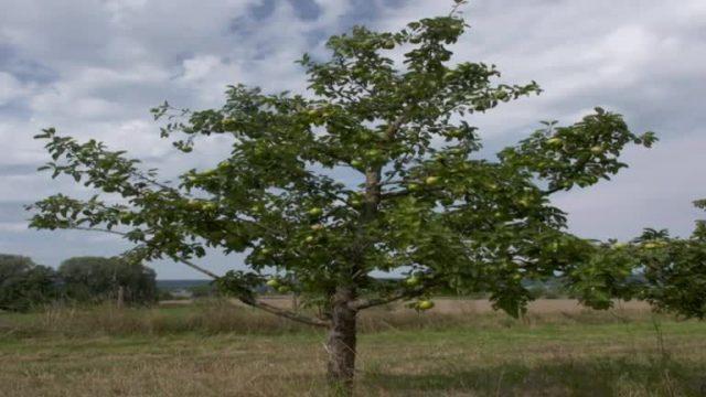 Aimans Antwort: Warum fällt er Apfel vom Baum? - 10s