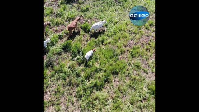 Good Disaster: Mit Ziegen gegen Brandkatastrophen