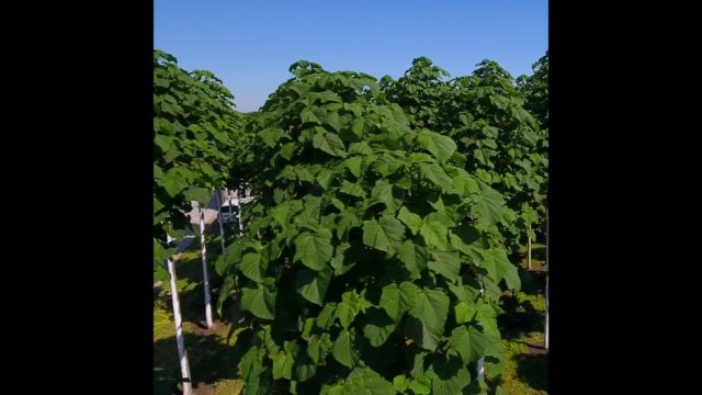 Kiri-Baum: Das Superholz - 10s