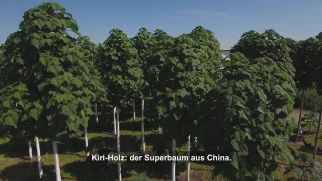 Kiri-Baum: Das Superholz