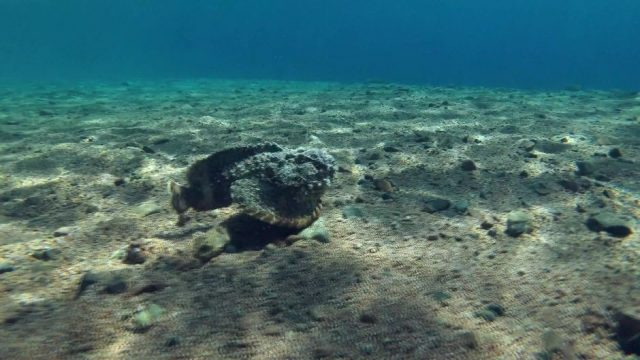 Steinfische: Giftige Meister der Tarnung - 10s