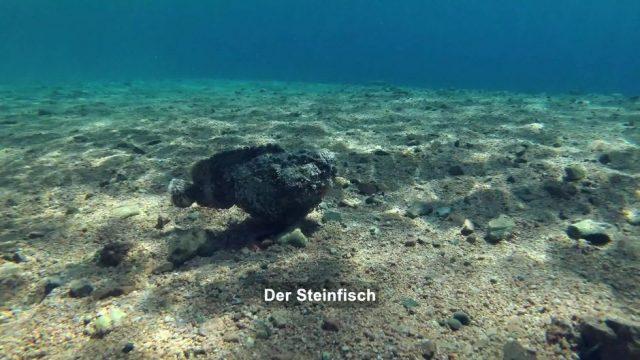 Steinfische: Giftige Meister der Tarnung