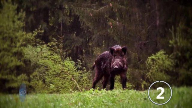 Wie gefährlich ist die afrikanische Schweinepest für uns?