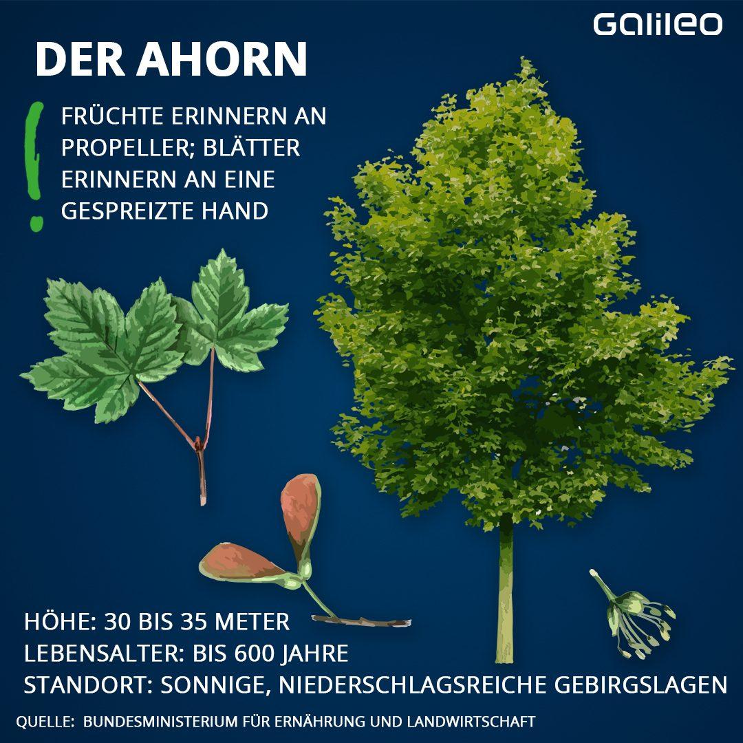 Heimische Bäume: Ahorn