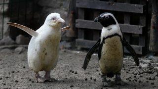 Albino Pinguine im Zoo von Danzig