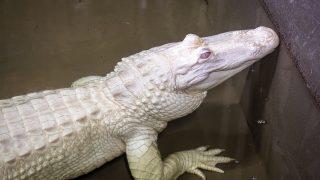 Weißer Albino Alligator in den Sümpfen des Mississippi