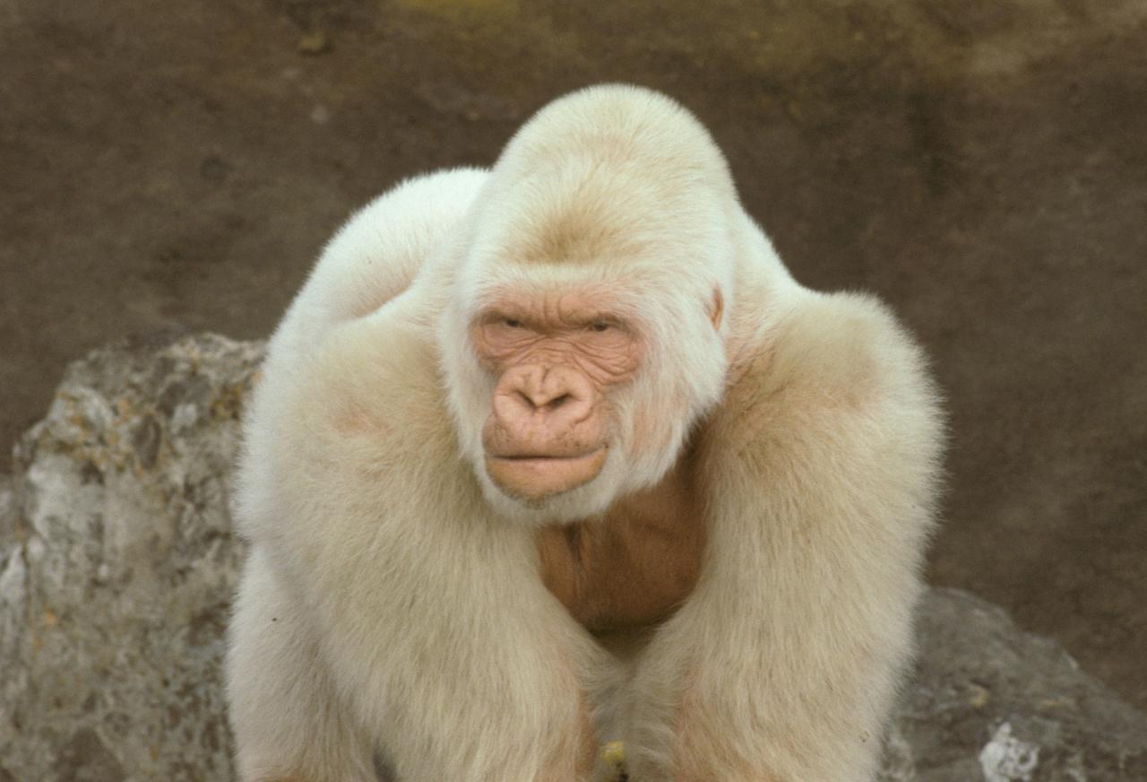 "Albino Gorilla ""Snow Flake"" aus dem Barcelona Zoo"