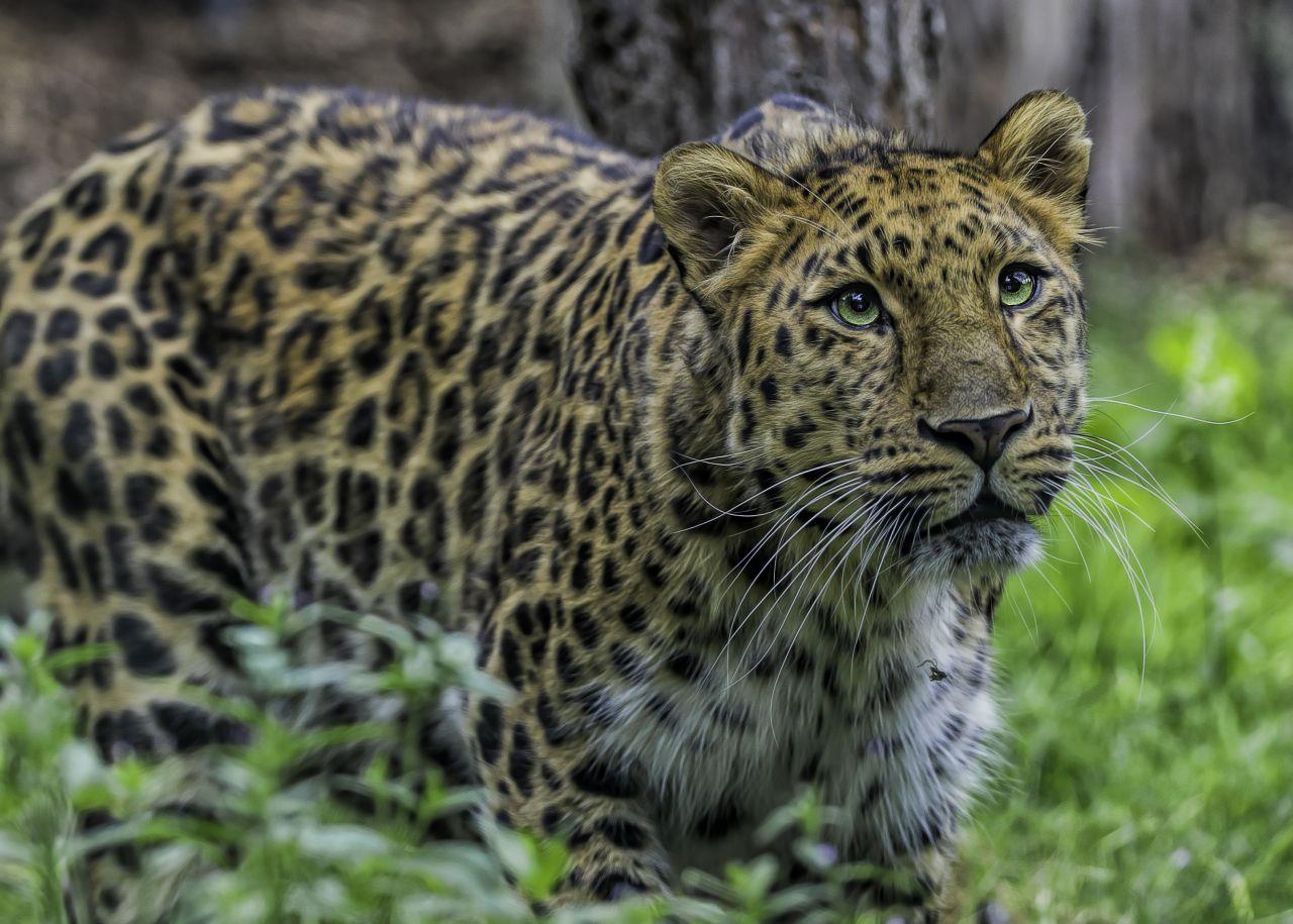 Amur-Leoparden sind bedroht