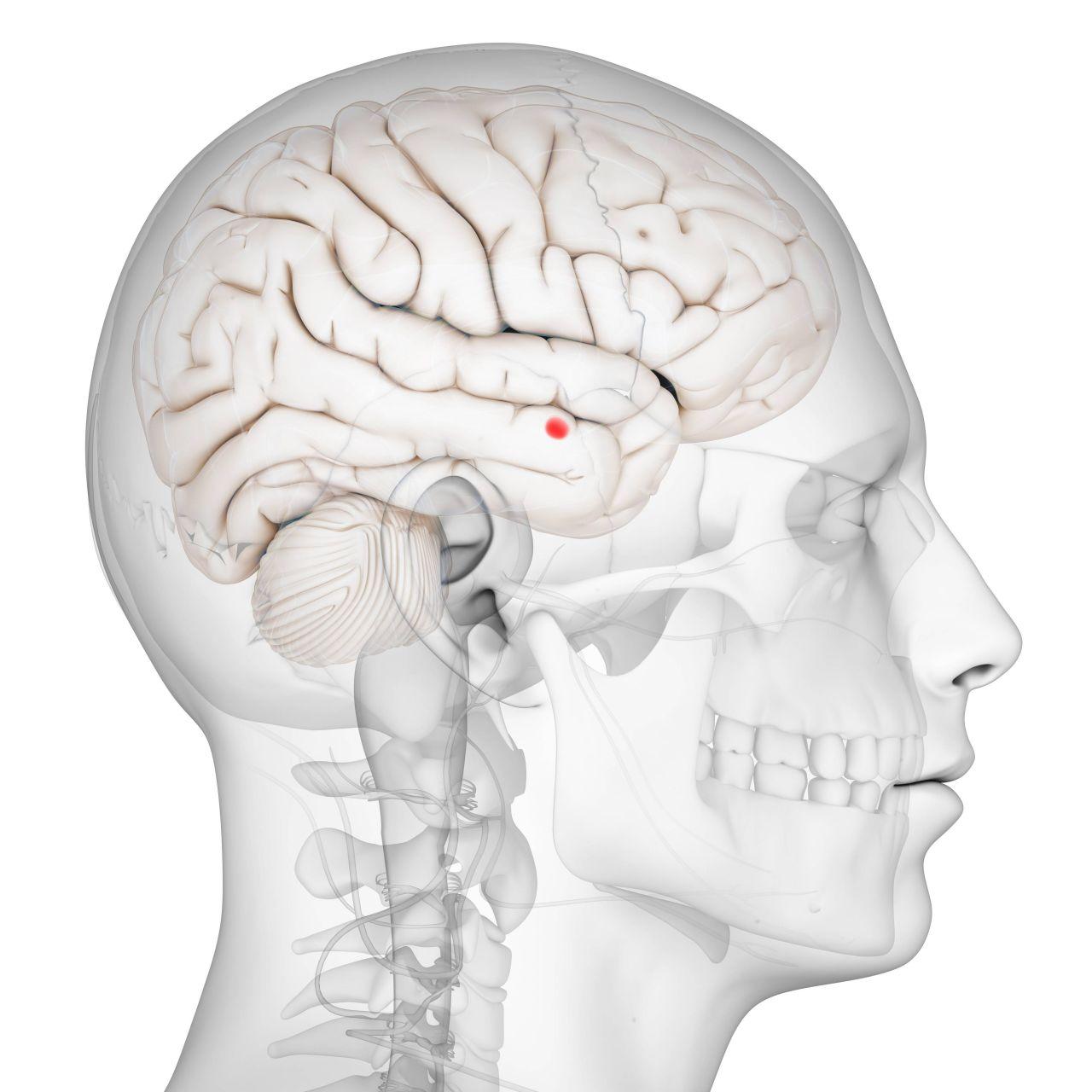 Amygdala Gehirn