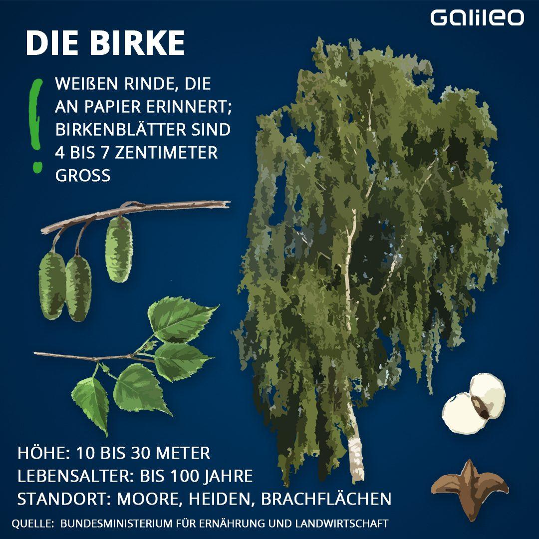 Heimische Bäume: Birke