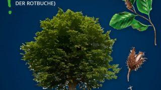 Heimische Bäume: Buche