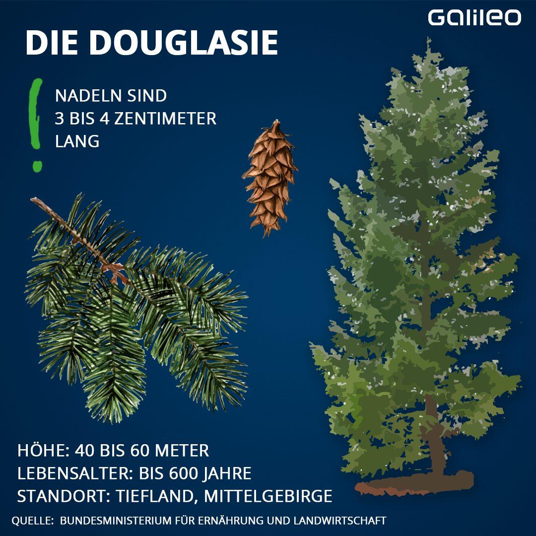 Heimische Bäume: Douglasie