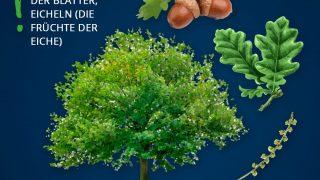 Heimische Bäume: Eiche
