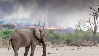 Elefant steht vor brennendem Wald