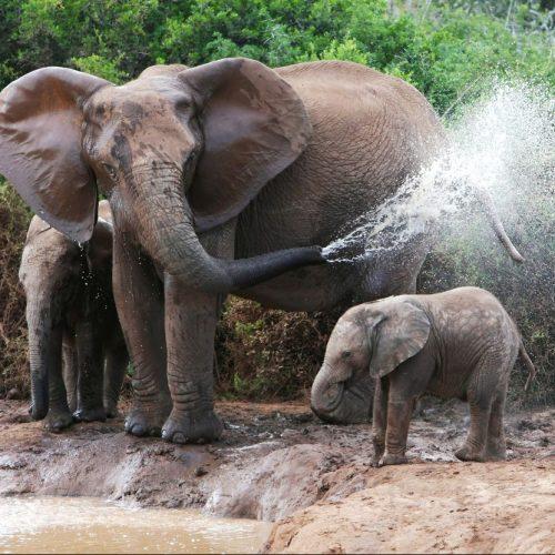 Der Elefantenbestand sinkt weiter. Die sanften Riesen sind in Gefahr. Dabei gelten sie als Ingenieure des Ökosystems und Intelligenzbestien mit ausgeprägtem Familiensinn. Was die Tiere bedroht und wie du sie schützen kannst.