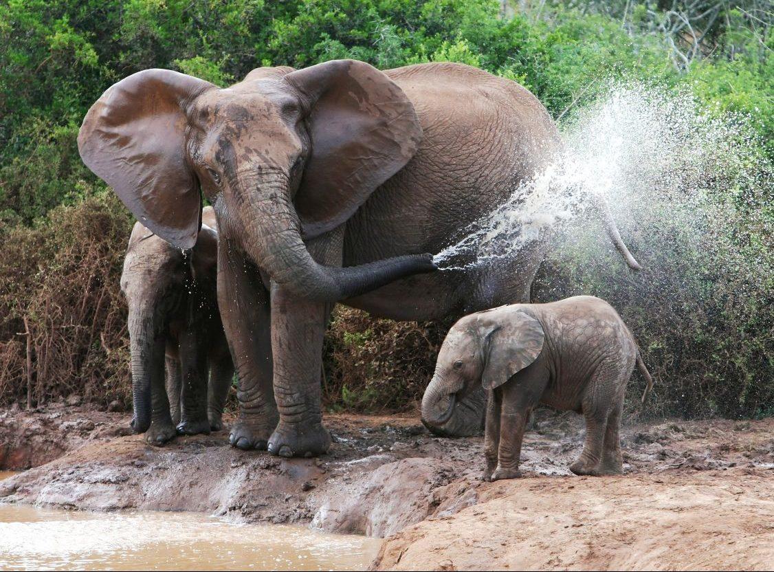 Elefanten - bedrohte Helden des Ökosystems