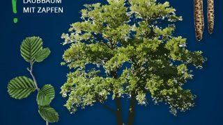 Heimische Bäume: Erle