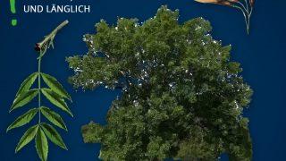 Heimische Bäume: Esche