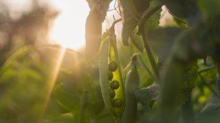 Erbsen aus dem Garten werden von der Abendsonne angestrahlt.