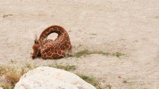 Eine Giraffe schläft zusammengerollt.