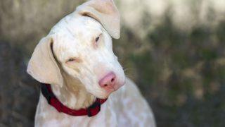 Albino-Hund