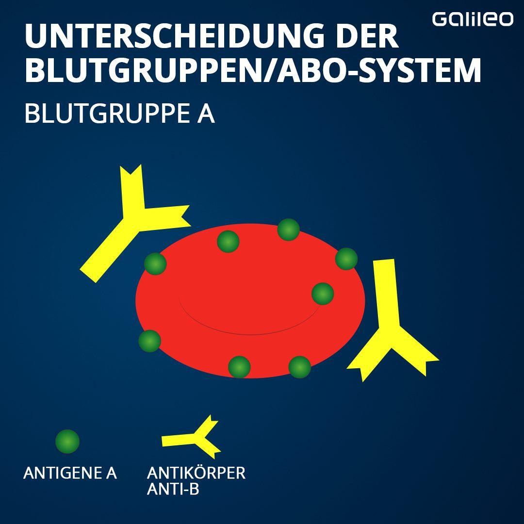 Blutgruppe A mit Antikörpern und Antigenen.