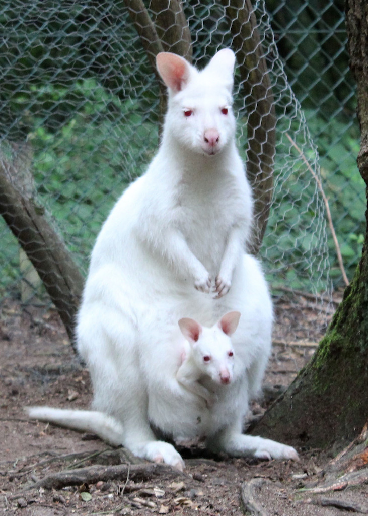Albino Kängurubaby vermisst