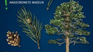 Heimische Bäume: Kiefer