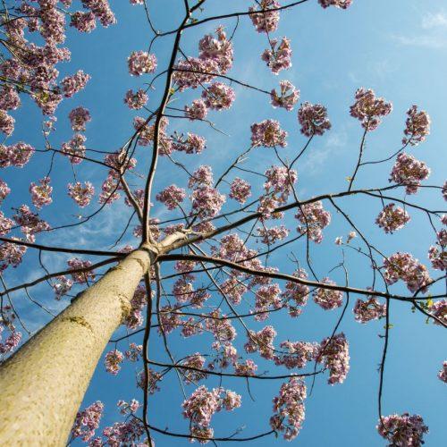 Der Kiri-Baum gilt als Klimaretter.