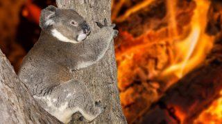 Koala im Buschbrand