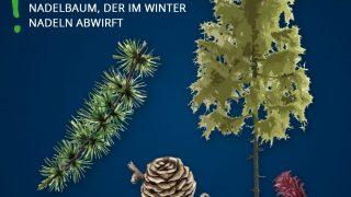 Heimische Bäume: Lärche