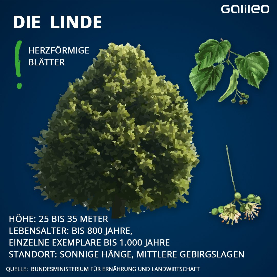 Heimische Bäume: Linde