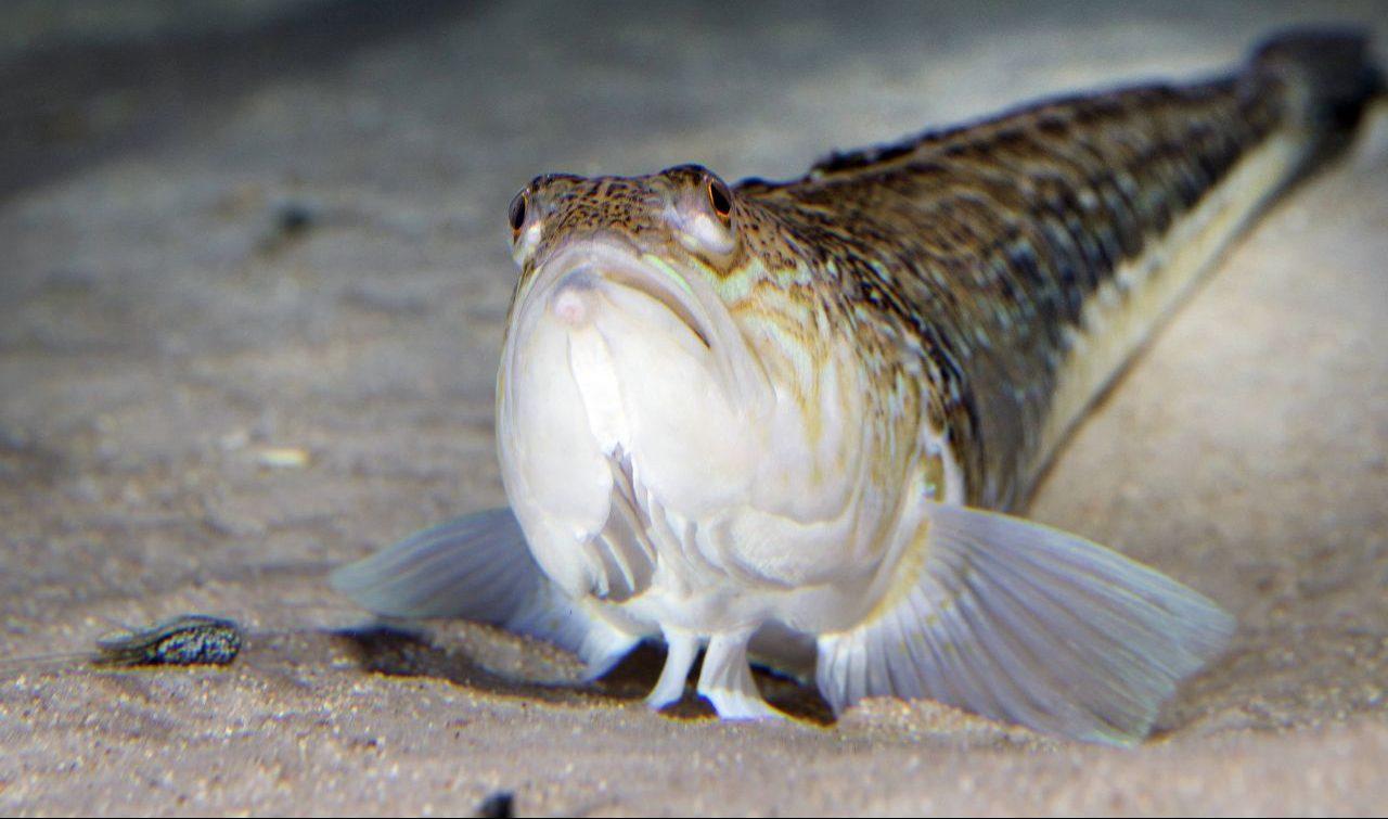 Petermännchen: Klingt niedlich, ist aber ein fieser Gift-Fisch