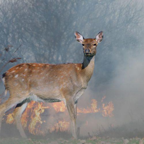 Reh steht vor einem Waldbrand
