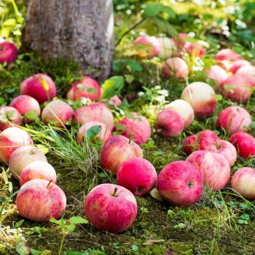 Warum fallen Äpfel vom Baum?