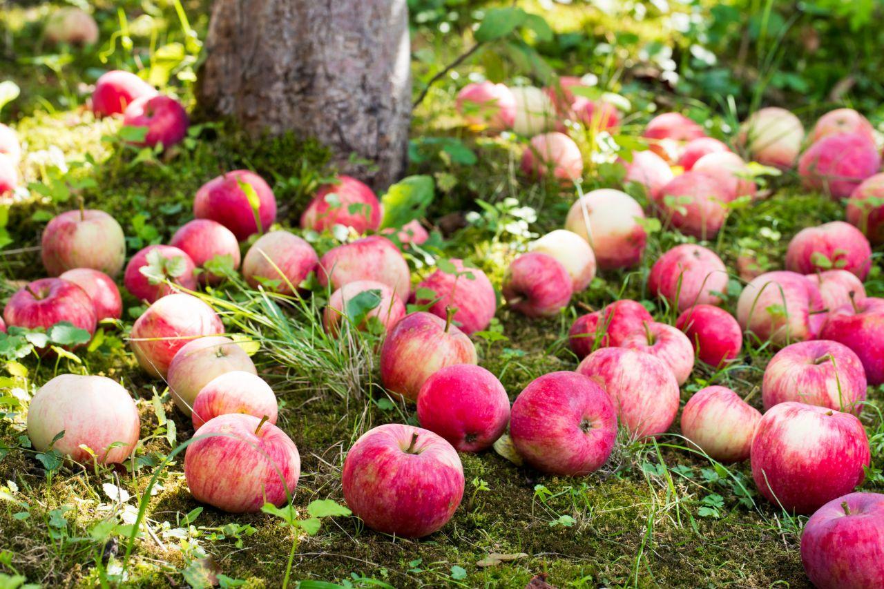 Warum fallen die Äpfel vom Baum?