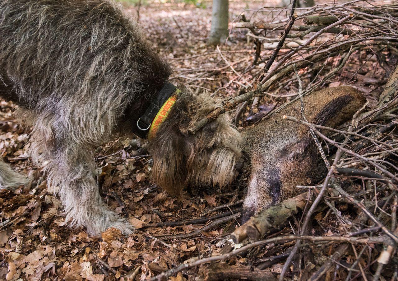 Suchhund Wildschwein