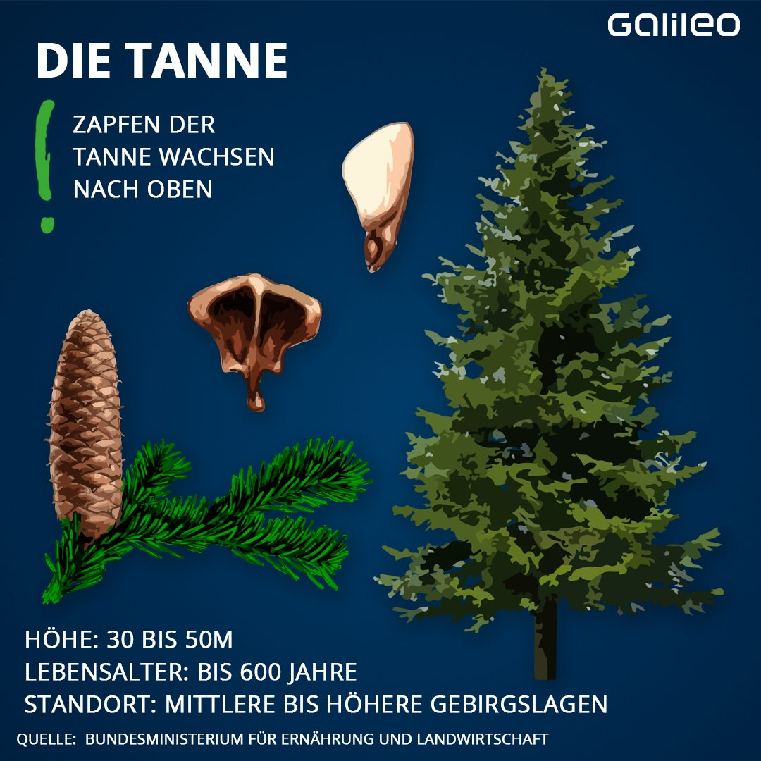 Heimische Bäume: Tanne